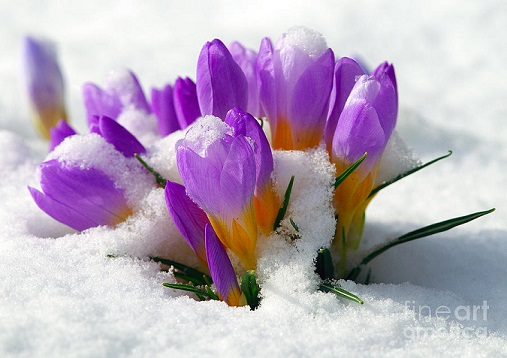crocuses-in-the-snow-sharon-talson