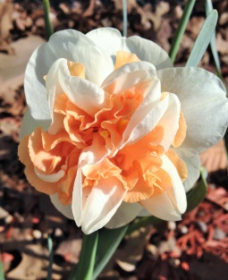 daffodil ruffled apricot center