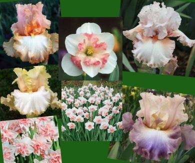 Iris and daffodils (1)