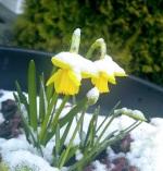 narcisus in snow
